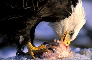 CLOSE-UP-BALD-EAGLE-EATING_
